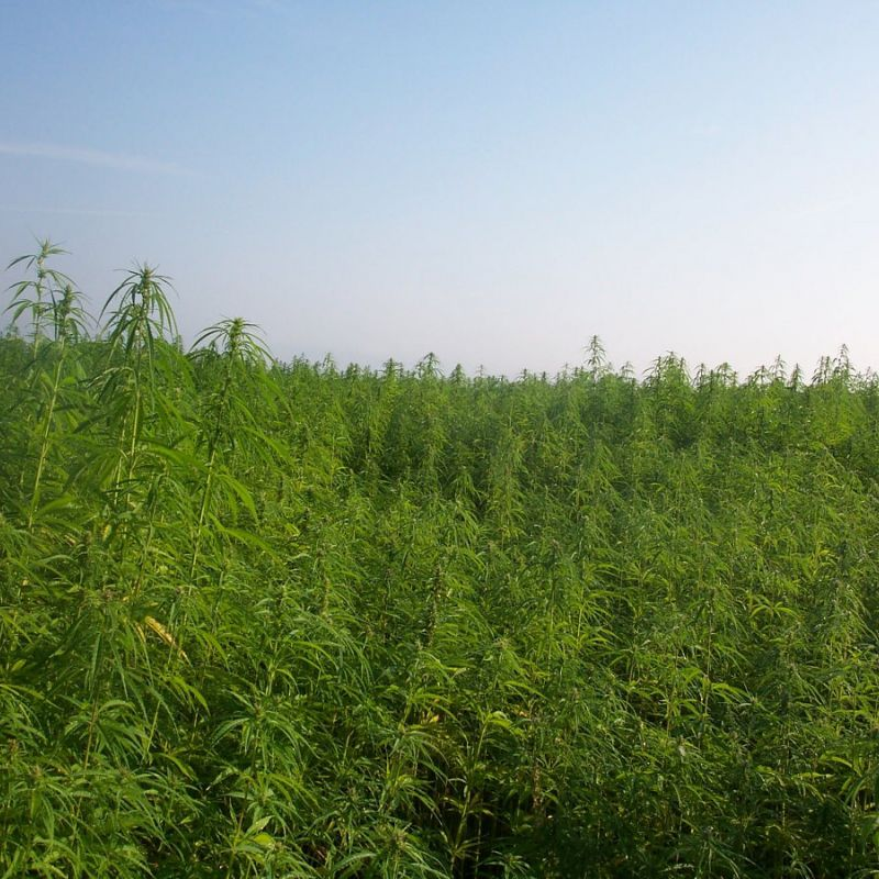 French Move Forward On CBD Cultivation