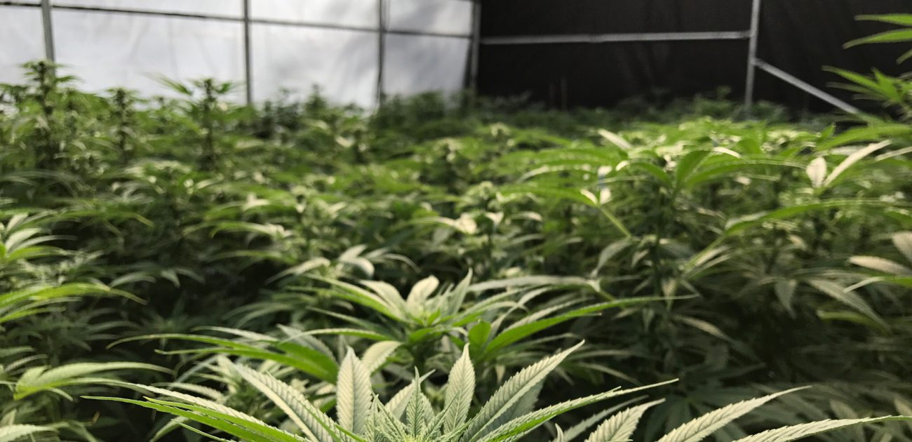 Cannafornia marijuana
