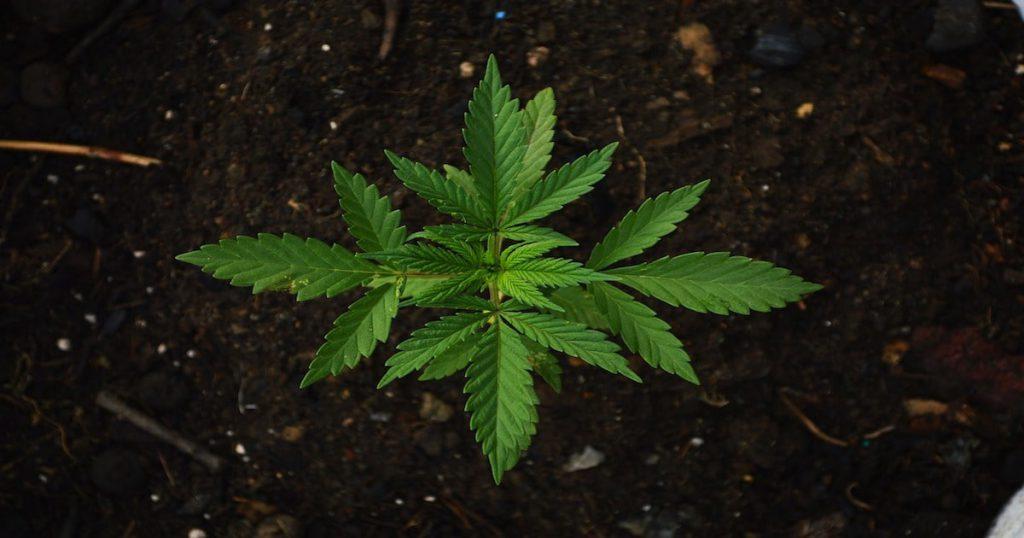 cannabis seedling plant