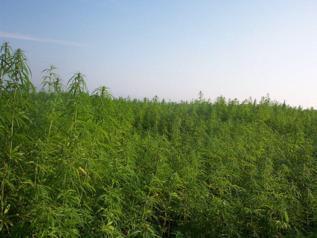 industrial hemp field
